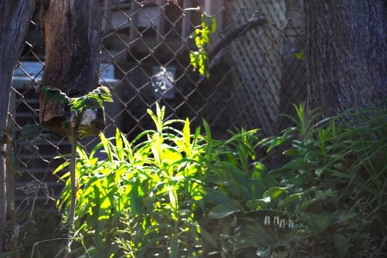 ailanthustorontosummer2014